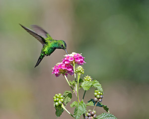 Hovering Hummingbird