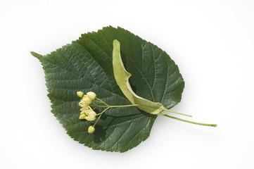 Lindenblueten, Tilia