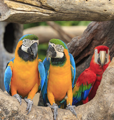Colorful macaws perching on a wood.