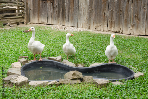 Three Geese in farmyard