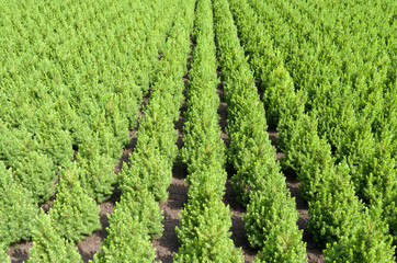 Rows of yew taxus trees in a nursery in Hazerswoude Netherlands.