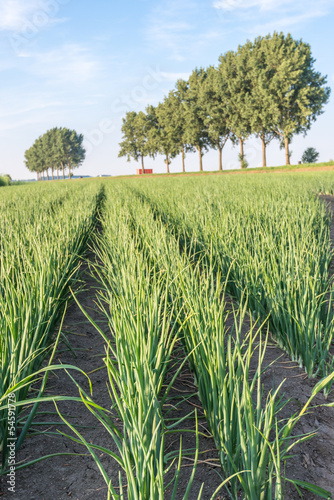 Agricultural landscape wint onion cultivation