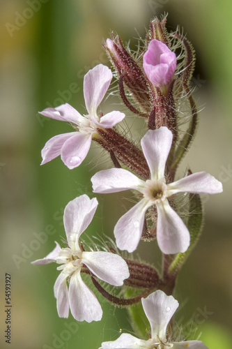 Common Soapwort flower