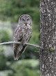 Great Gray Owl Perched on a Branch