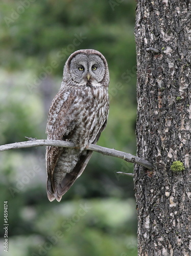 Foto op Plexiglas Uil Great Gray Owl Perched on a Branch