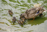 Mallard duck with chicks