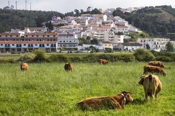 Cows eating grass on Odeceixe