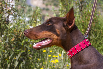 Close up view of a brown domestic dog with red collar.