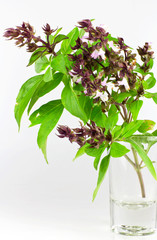 Sweet Basil or Thai Basil isolated on a white background.