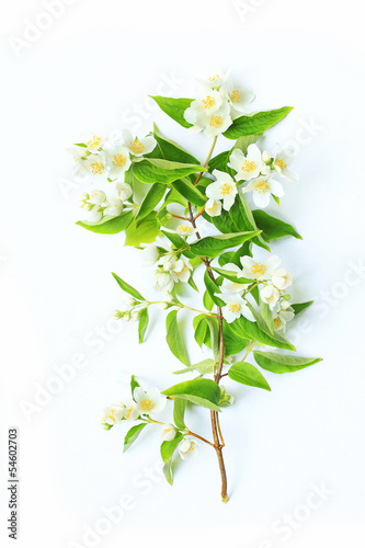 Jasmine flowers background
