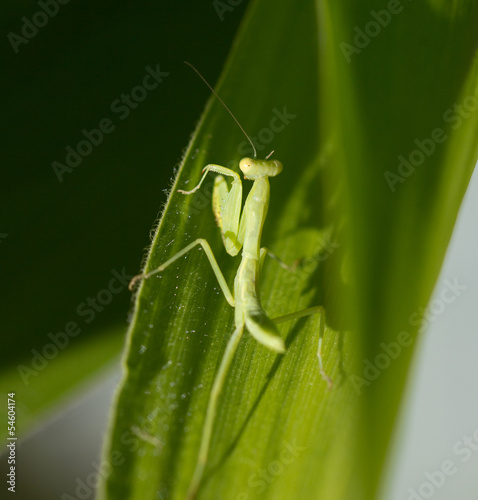 mantis in nature. macro