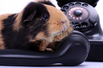 Meerschweinchen auf antikem Telefonhörer