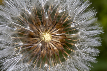 Dandelion (Taraxacum officinale) flower.
