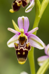 Bee Orchid (Ophrys apifera) flower.