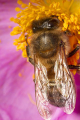 honey bee (Apis mellifera) collecting nectar