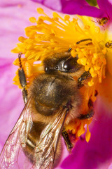 honey bee (Apis mellifera) collecting nectar