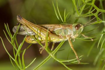 green grasshopper Chorthippus apicalis.