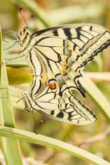 Swallowtail (Papilio machaon) butterfly insects mating.