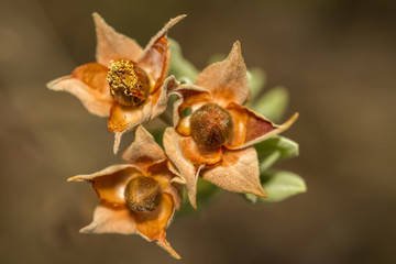 Close up view of the beautiful Cistus salviifolius seed pods.