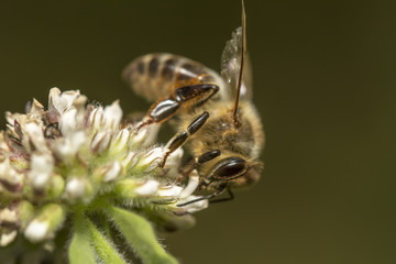 Close up view of the honey bee collecting nectar from a flower.