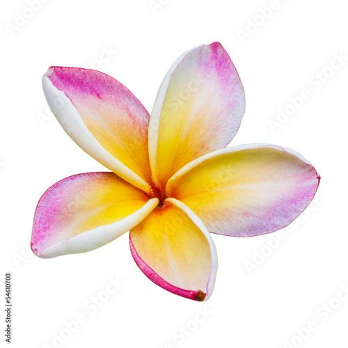In de dag Frangipani Flower of temple