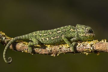 Mediterranean Chameleon