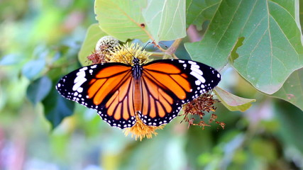 butterfly are sucking nectar on a flowering fruit.