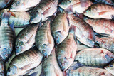fish background, Tilapia