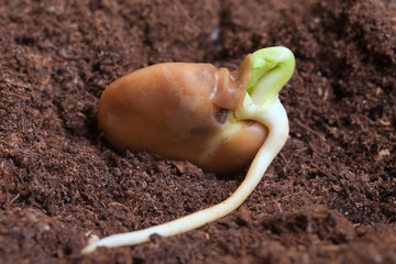 Germination of bean.