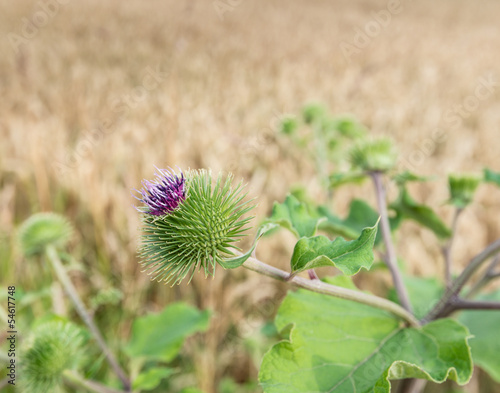 Lilac blooming Greater Burdock against a blurred yellow cornfiel