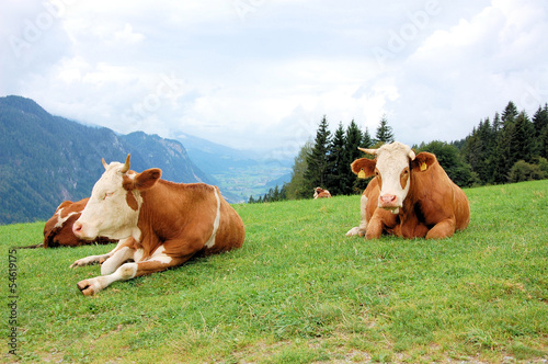 Fototapeten,alm,kühe,berg,alpen
