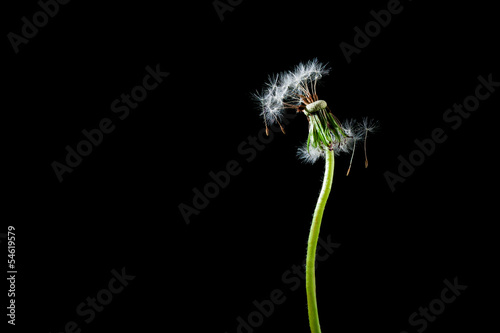 Dandelion isolated on black background