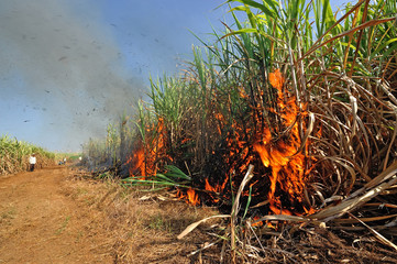 Sugarcane field burning in Thailand