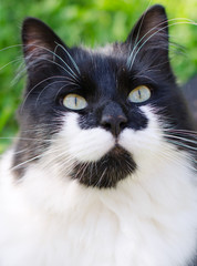 Black and white cat portrait outdoors