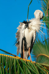 stork on a palm tree. close up