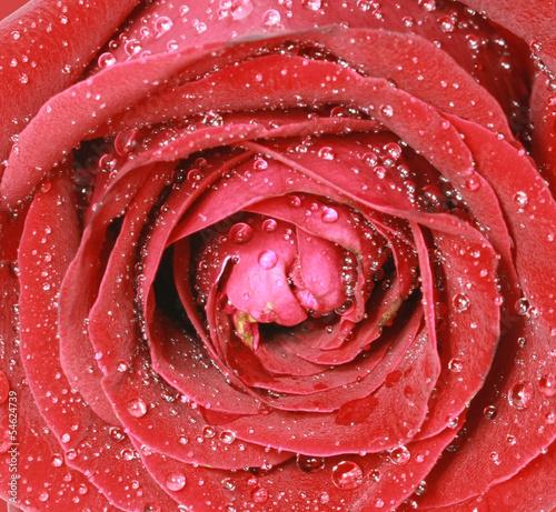 Obraz na Plexi close up red rose