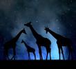 herd of giraffes in the night sky