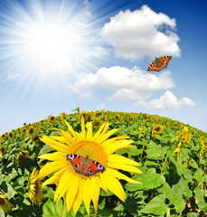 sunflower field with butterflies