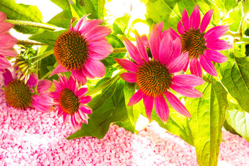 Beautiful purple Echinacea flowers