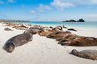 Leinwandbild Motiv Sleeping sea lions Galapagos