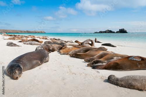 Sleeping sea lions Galapagos - 54628711