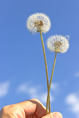 Dandelion with seeds in hand over blue sky