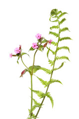 Pink campion and fern