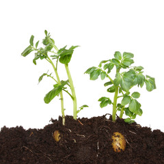 Potato plants in soil