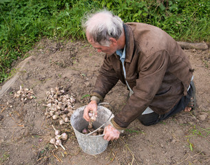 Farmer harvesting garlic into the pail
