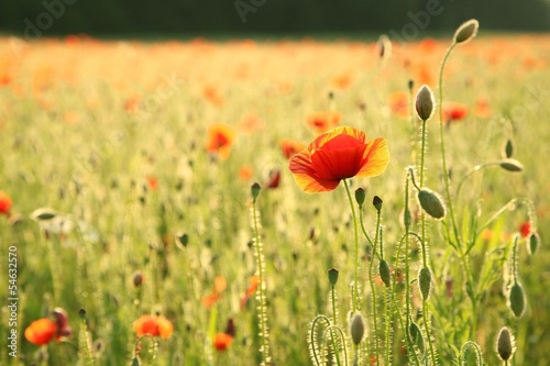 Poppy on a field at dusk
