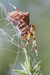 Orb Weaving  Spider (Araneus angulatus)
