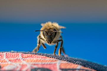 Nahaufnahme Biene von vorne