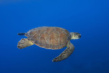 Green turtle, Chelonia mydas, swimming over blue sea