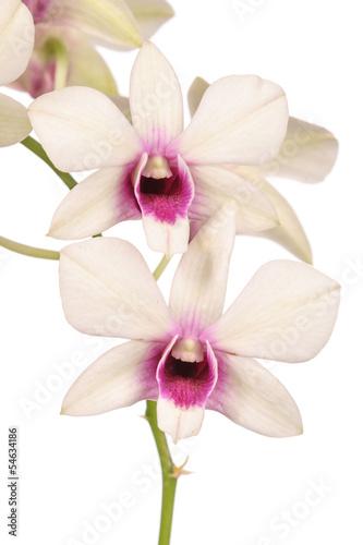 Fototapeten,orchidee,white background,weiß,gartenbau